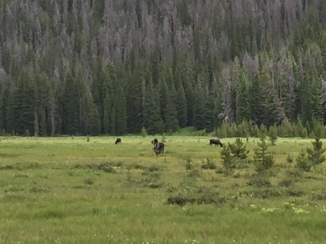 Elk in Big Meadow