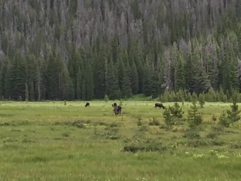 Elk in Big Meadow